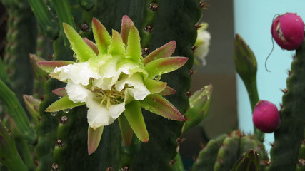 Night blooming cactus flower in the rain