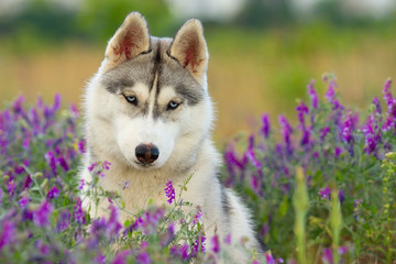 puppy of Siberian husky dog outdoors