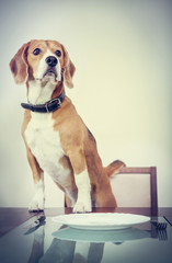 Beagle dog waiting for a dinner