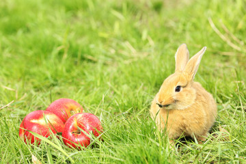 Little rabbit with apple in grass close-up