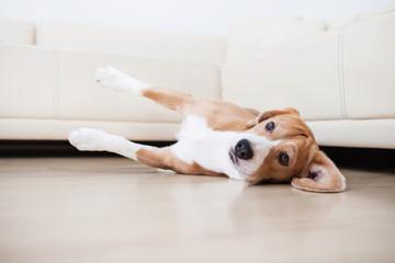 Laisy beagle lying on the flour