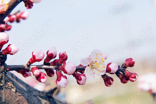 Wall mural Cherry Blossom with Soft focus, Sakura season Background