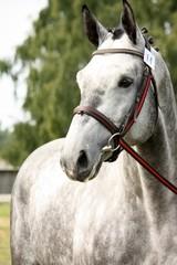 Gray sport horse portrait ar show arena