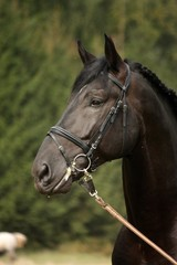 Black sport horse portrait with bridle