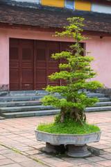 bonsai or streblus asper lour trees
