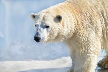 Белый медведь.