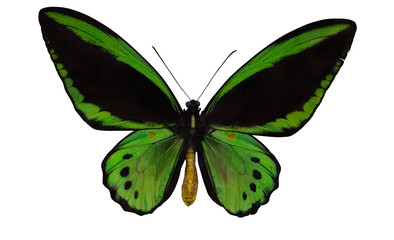 green and black large butterfly isolated on white