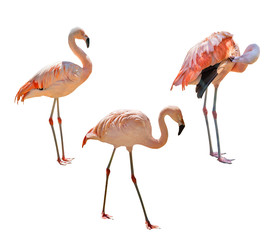 set of pink flamingo isolated on white
