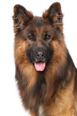 Wall Mural - German shepherd dog