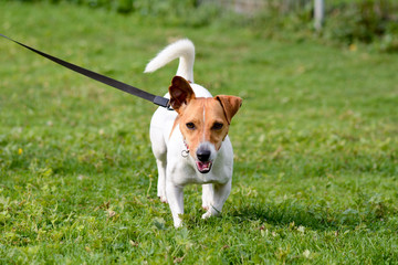 Jack Russell dog approaching