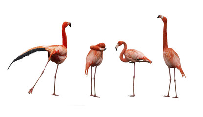Four pink flamingo birds isolated on white
