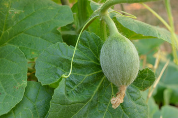 watermelon bud at trail