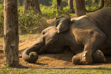 Elephant sleeping staying down