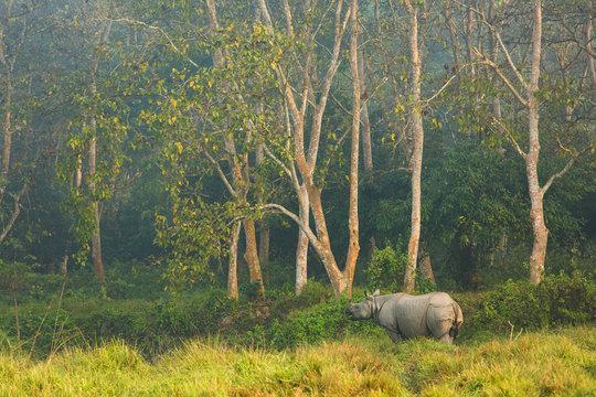 Rhinoceros in the jungle, Chitwan National Park Nepal