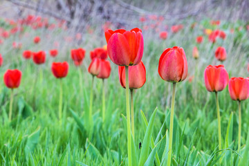 Red tulips in a field in spring evening
