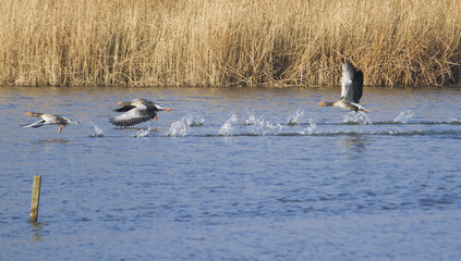 Trio of Greylag Geese in flight.