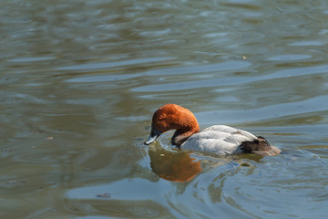 Swimming adult male pochard or Aythya ferina looking for food
