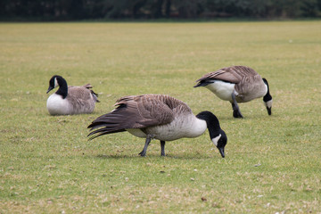Canada Geese on Grass Field