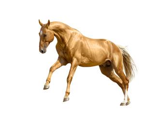 palomino horse isolated on white