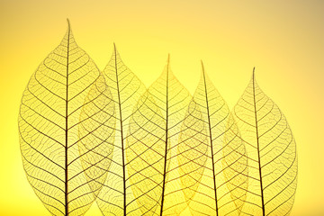 Keuken foto achterwand Decoratief nervenblad Skeleton leaves on yellow background, close up