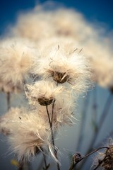 Blooming cotton grass in forest