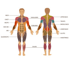 vector muscular human body, muscle man anatomy,