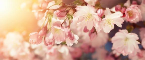 Foto op Canvas Kersenbloesem Kirschblüten in sanften Retro-Farben