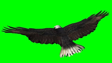 Bald Eagle in fly separated on green screen