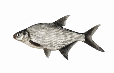 Bream, live fish