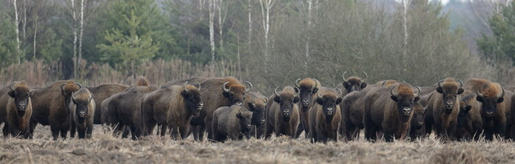 European Bison herd in snowless winter time against pine trees in morning
