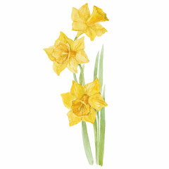 Spring flowers narcissus isolated on white background. Vector, w