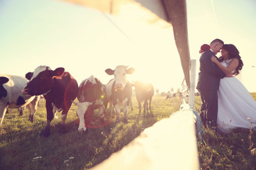 Bride and groom kissing near cow farm