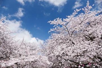 東京桜の名所 目黒川 満開のソメイヨシノ 青空