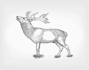 Hand drawn deer. Vector sketches