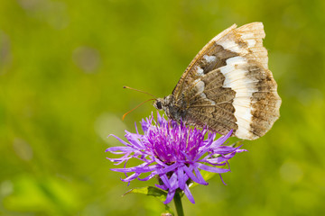 Butterfly on cornflower