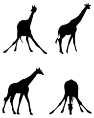 Black silhouette of giraffes, vector illustration