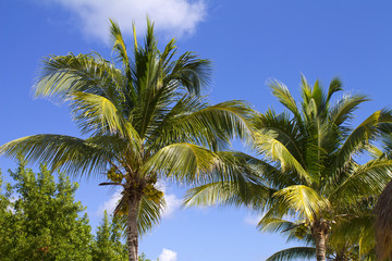 Palm tree with coconut on blue sky