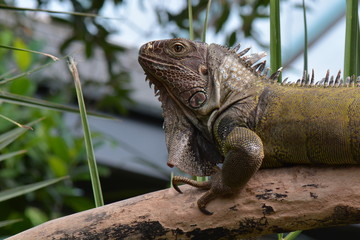 An iguana surveys its kingdom,I am the big boss man