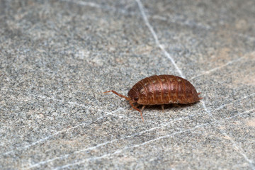 Pill-bug (Isopoda) wandering on a rock