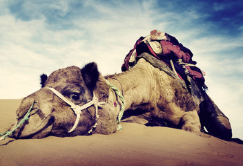 Foto auf Leinwand Durre Animal Camel Desert Resting Concept