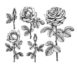 Ink illustrations of roses