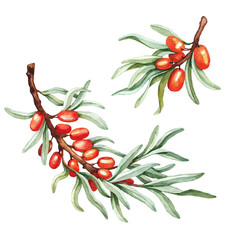 Watercolor sea buckthorn illustration
