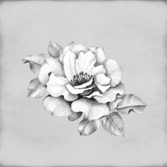 Pencil drawing of rose