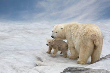family of polar bears to stand on snow
