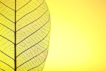 Keuken foto achterwand Decoratief nervenblad Skeleton leaf on yellow background, close up