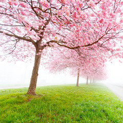 Sakura flowers in the early misty morning