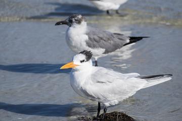 Royal Tern on a Beach