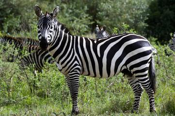 Zebra in the Masai Mara National Park (Africa)