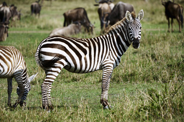 Zebra in the Masai Mara National Park (Africa)