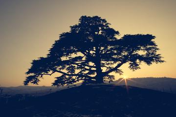 Cedro del Libano al tramonto